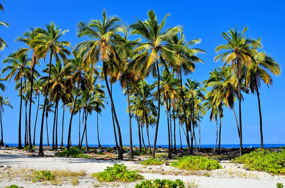 Row Palm Trees at Pu&rsquo;uhonua Park near Hōnaunau, Island of Hawaii, Hawaii<br />