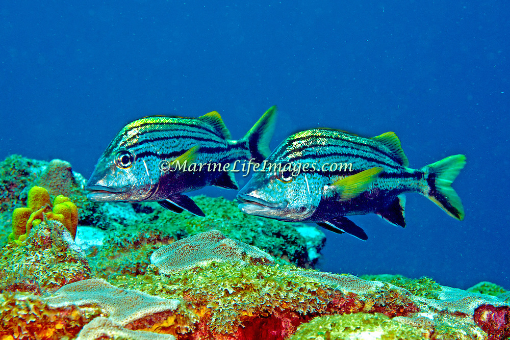 Spanish Grunt inhabit reefs in Tropical West Atlantic; picture taken Tobago.
