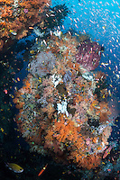 Reef Fish feed in the current above Sponges and Soft Corals<br /> <br /> Shot in Indonesia
