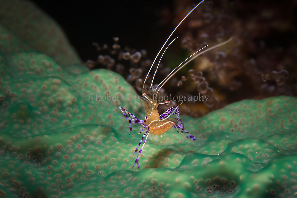 Cleaner shrimp waving its antenna to attract a fish to a Bloody Bay Wall cleaning station.