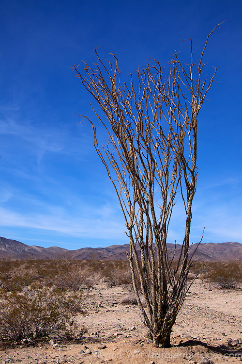 USA, California, Joshua Tree. Ocotillo Cactus
