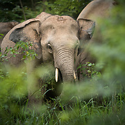 Asian Elephant (Elephas maximus) in Kui Buri national park, Thailand