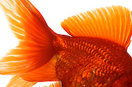 Goldfish, a cultivated form of the goldfish (Carassius auratus gibelio forma), Japanese cultivar Ryukin. No doubt he is the eldest of aquarium fish and the oldest known pet. It is distinguished by its orange-golden hue. The goldfish are available in colors red, orange, white and black, spotted two colors. He is approximately 20 cm tall. In its home country of China and Japan, the cultural significance has received to date: it is a symbol of fertility and felicity. Studio Shot, Goosefeld. / Schleierschwanz; eine Zuchtform des Goldfisches (Carassius gibelio forma auratus), japanische Zuchtform Ryukin. Er ist wohl der Aelteste Aquarienfisch bzw. das aelteste bekannte Haustier. Es zeichnet sich durch seinen orange-goldenen Farbton aus. Den Schleierschwanz gibt es in den Farben rot, orange, weiss und schwarz, zweifarbig gefleckt. Er wird ca. 20 cm gross. In seinem Ursprungsland China und Japan hat sich die kulturelle Bedeutung bis zum heutigen Tage erhalten: er ist ein Gluecks- und Fruchtbarkeitssymbol. Studioaufnahme, Goosefeld.