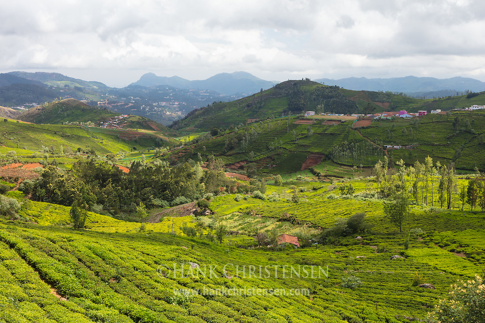The tea plantations in the hills above Oota reflect an emerald green on a sunny day, Tamil Nadu, India.
