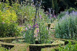 Sweet peas - Lathyrus odoratus -  growing up metal obelisks in the herb garden at Ballymaloe Cookery school