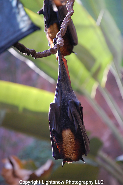 This is a photograph of Rodrigues Fruit Bats in repose.