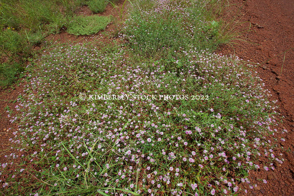 A lowgrowing Gomphrena grows by the roadside on the way to Fitzroy Crossing
