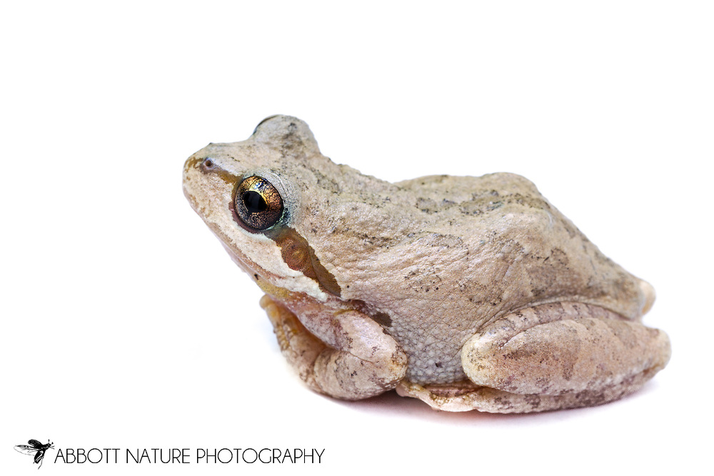 Sierran Treefrog (Pseudacris sierra)<br /> CALIFORNIA: Monterey Co.<br /> Hastings Biological Preserve<br /> 9-May-2015<br /> J.C. Abbott &amp; K.K. Abbott
