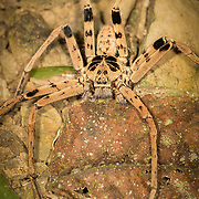 Huntsman Spider Heteropoda sp. in Kaeng Krachan National Park, Thailand.