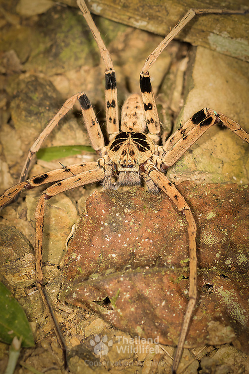 Huntsman Spider Heteropoda sp. in Kaeng Krachan National Park, Thailand.