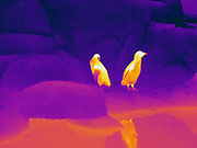 Thermogram of penguins.  The different colors represent different temperatures on the object. The lightest colors are the hottest temperatures, while the darker colors represent a cooler temperature.  Thermography uses special cameras that can detect light in the far-infrared range of the electromagnetic spectrum (900?14,000 nanometers or 0.9?14 µm) and creates an  image of the objects temperature..