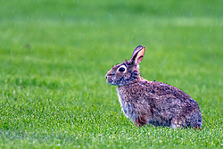 Cottontail Rabbit (Sylvilagus) during a rain shower in the spring
