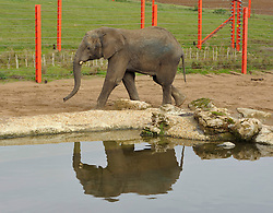 © Licensed to London News Pictures. 10/11/2014. Wraxall, North Somerset, UK.  A new bull elephant called M'Changa age 6 has arrived at Noah's Ark Farm Zoo, to join two other elephants, Buta (female) age 30 and Janu (male) age 9.  M'Changa who weighs one and a half tons was driven 2000 miles from Boras zoo in Sweden.  Photo credit : Simon Chapman/LNP