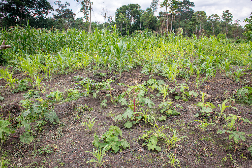Various produce grows on a farm in Ganta, Liberia