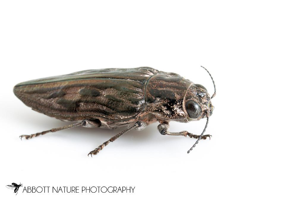 Sculptured Pine Borer (Chalcophora virginiensis)<br /> TEXAS: Jasper Co.<br /> Martin Dies Jr. State Park<br /> 30.851023, -94.162275  16-May-2013<br /> J.C. Abbott #2649 &amp; K.K. Abbott