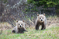 Grizzly bear cubs in Banff National Park