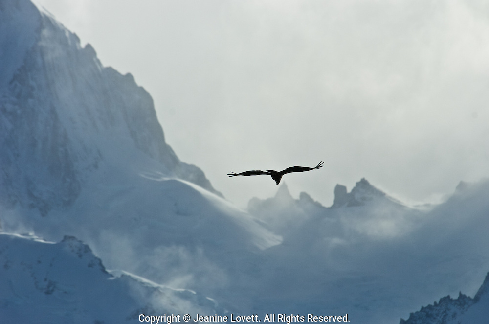 Andean Condor soaring above Patagonia landscape using heat thermals to aid its flight.