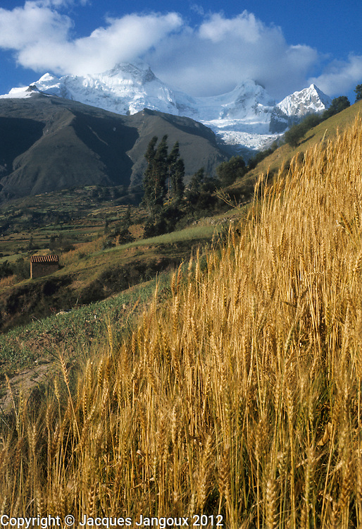 Peru, Andes Montain Range - Cordillera de los Andes. Cordillera Blanca mountain range: snow-covered Mount Huandoy. Wheat field in foreground.
