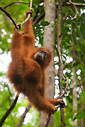 View from below of a young Sumatran orangutan with a distended abdomen.
