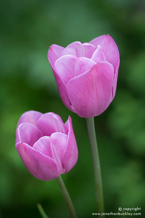 Tulip 'Violet Beauty'