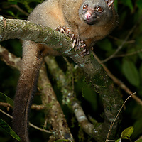 Coppery Brushtail Possum (Trichosurus johnstonii) also (T. vulpecula johnstonii). Queensland, Australia.