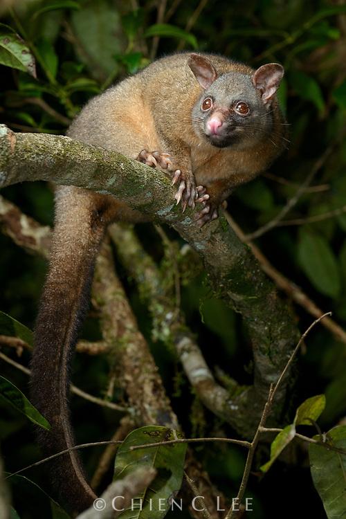 Coppery Brushtail Possum (Trichosurus johnstonii) also (T. vulpecula johnstonii). Queensland, Australia.