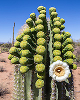 A single saguaro blossom with buds