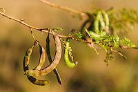 Acacia karoo Seed Pods, Bontebok National Park, Western Cape, South Africa