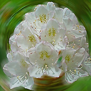 White Rhododendron found in the Black Rock Mountain State Park, Georgia, United States.