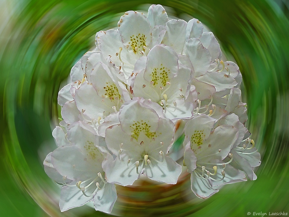 White Rhododendron found in the Black Rock Mountain State Park, Georgia, United States.