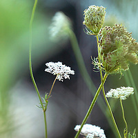 Laura Stoecker/lstoecker@dailyherald.com<br /> Queen Anne's Lace blooms at LeRoy Oakes in St. Charles.