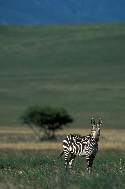 South Africa, Bontebok National Park, Cape Mountain Zebra (Equus zebra zebra)