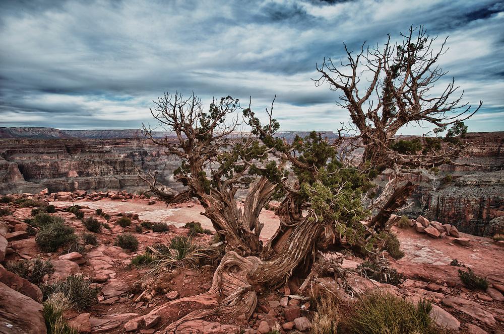 Dry Tree at Guano Point, Grand Canyon, Arizona