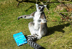 © Licensed to London News Pictures. 13/03/2013 Whipsnade, UK. Billy the Ring Tailed Lemur at a photo call to celebrate celebrate his 25th birthday at Whipsnade Zoo, Beds. He and his twin, Taffy are believed to be the oldest living Ring Tailed Lemurs in captivity. Photo credit : Simon Jacobs/LNP..