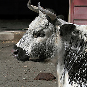 Randall Lineback cow