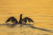 Cormorate in golden sea | Skarv i gullfarget sjø.