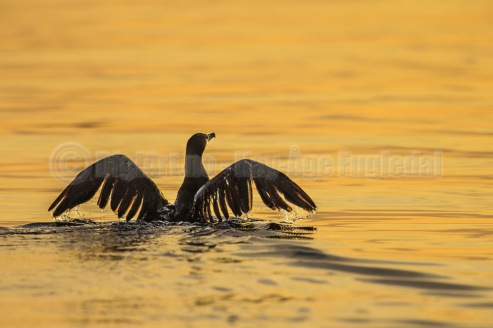 Cormorate in golden sea   Skarv i gullfarget sjø.