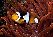 Perculaa Clownfish, Amphiprion percula.