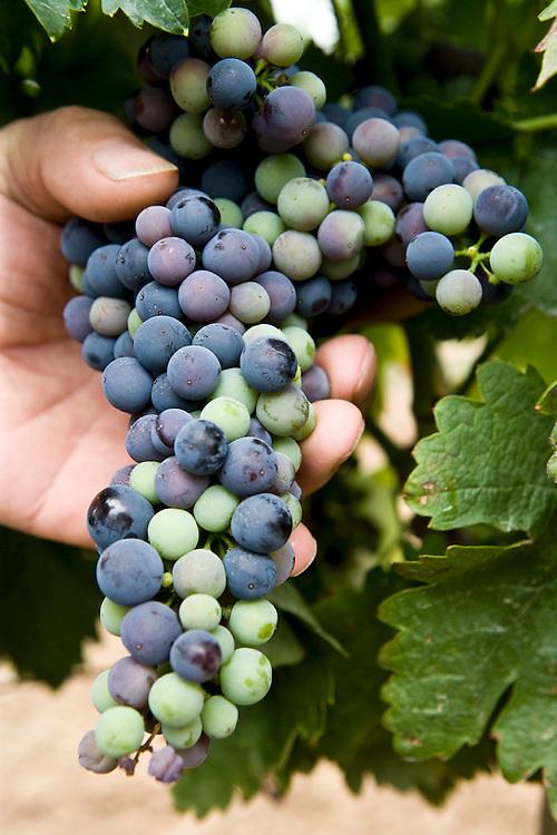 Change of color of Ribera del Duero grapes in September. <br /> <br /> Cambio de color de la uva en los vi&ntilde;edos de Ribera del Duero en el mes de Septiembre.