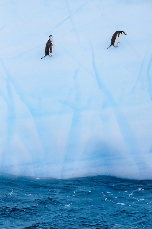 Chinstrap Penguins (Pygoscelis antarctica) on an iceberg in the South Orkney Islands, Antarctica. They use the power of the waves to climb the stepp, icy wall.