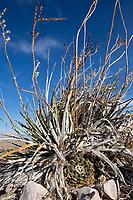 Living Rock Cactus, (Ariocarpus fissuratus) with Hechita texensis, Big Bend National Park, Texas