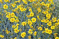 Brittlebush (Encilia farinosa) in the Anza Borrego Desert, California, USA