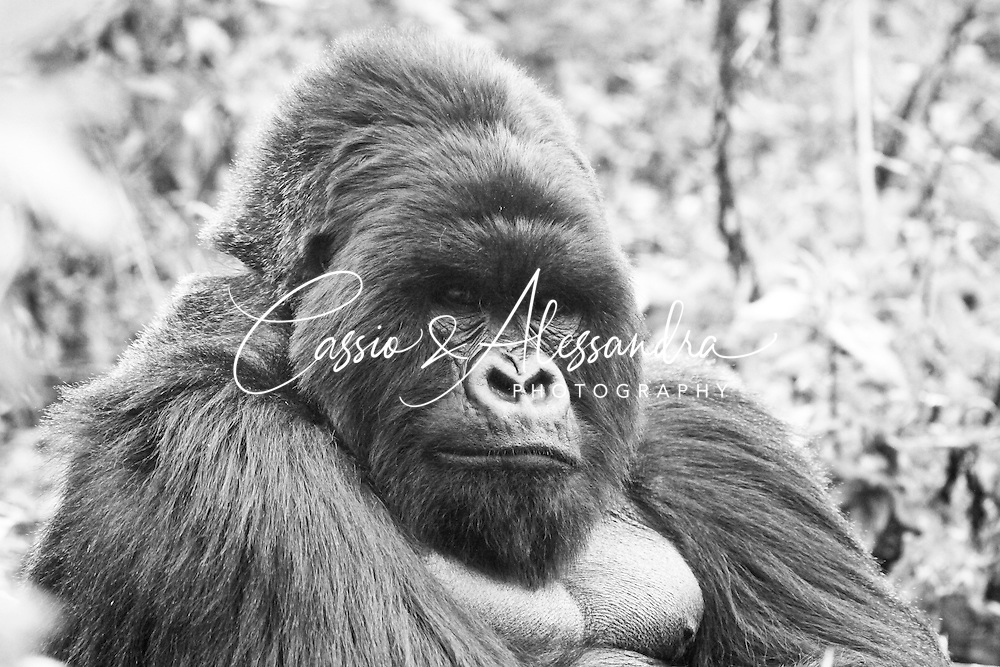 The gorillas are stunning animasl to be photographed. they can just stand still and provide great poses and expressions. This particular silverback is quite photogenic and in B&W I think it highlights the expressions and remove the abstractions from the background.