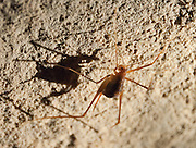A cave cricket (Hadenoecus subterraneus) walks a cavern's stone ceiling. Mammoth Cave National Park was established in 1941 in Edmonson County, Kentucky, USA and was declared a UNESCO World Heritage Site in 1981 and international Biosphere Reserve in 1990. With over 390 miles (630 km) of passageways, the Mammoth-Flint Ridge Cave System is the longest known in the world. Mammoth Cave developed in thick Mississippian-aged limestone strata capped by a layer of Big Clifty Sandstone. Descending limestone layers include the Girkin Formation, Saint Genevieve Limestone, and Saint Louis Limestone.