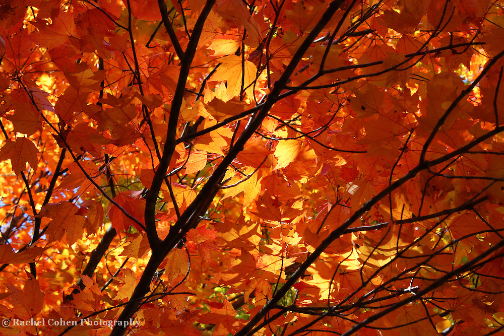 &quot;Absorbed in Autumn&quot;<br /> <br /> Beautiful golden and orange tipped Maple leaves on a swaying branch. Sunlight drenches the leaves with her autumn warmth!!<br /> <br /> Fall Foliage by Rachel Cohen