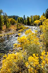 """Truckee River Wildflowers 2"" - Autumn photograph of yellow wildflowers along the Truckee River in Downtown Truckee, California."