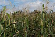 Cornfield in Tlalistac de Cabrera, Oaxaca.