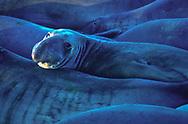 Elephant Seals, Año Nuevo State Park,  Pescadero, CA