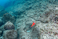 Mediterranean parrot fish-Poisson perroquet méditerranéen (Sparisoma cretense), Pico Island, Azores Archipelago.