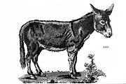Ass from General zoology, or, Systematic natural history Vol II Part 2 Mammalia, by Shaw, George, 1751-1813; Stephens, James Francis, 1792-1853; Heath, Charles, 1785-1848, engraver; Griffith, Mrs., engraver; Chappelow. Copperplate Printed in London in 1801 by G. Kearsley